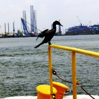 Phalacrocorax aristotelis in galveston may 2007, Галвестон