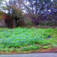 Spring in TX=Bluebonnets, Кирби