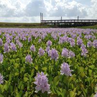 water hyacinths, Лакленд база ВВС