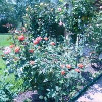 Roses, Лонгвью