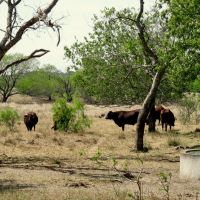 Santa Gertrudis cattle, Одем