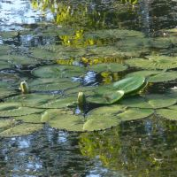 Water lilies, Brackenridge Park San Antonio River Texas, Олмос-Парк
