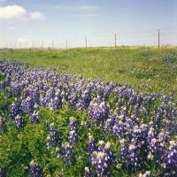 Texas Bluebonnets, near Olney, Tx, Олни