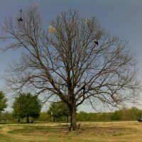 Kite-eating tree in Zilker Park, Austin, Роллингвуд