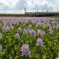 water hyacinths, Слатон