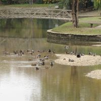 Ducks at Mellon Park with pedestrian bridge in the background, Фармерс-Бранч