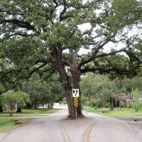 Tree in Pecos street looking East, Хедвиг-Виллидж