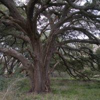 Very old oak tree #2 - West Texas, Эль-Кампо