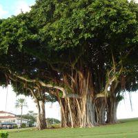 BIG TREE IN INDIAN CREEK ISLAND, Бал-Харбор