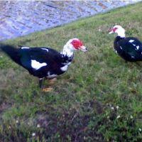 jurassic ducks, Вамо