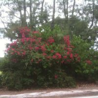 bougainvillea on A1A, Галф-Стрим