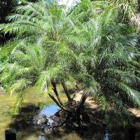 Palm tree, Глен-Ридж