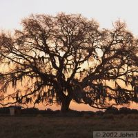 Live Oak at Sunrise - Hernando County, FL, USA, Еглин Аир Форк Бас