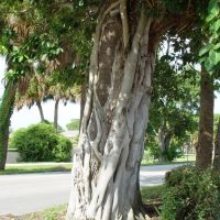 strangler fig tree, Indian Harbor Beach, Florida (8-2007), Индиан-Харбор-Бич
