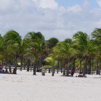 Coconut Palms in Crandon Park, Ки-Бискейн