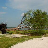 Hurricane Felled Tree, Old Clearwater Bay, Клирватер