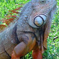 Iguana, Коконат-Крик