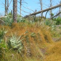 High Ridge Scrub, Palm Beach County, FL, Лантана
