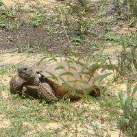Turtle, Лантана