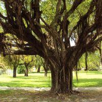 Beautiful Old Tree, Майами-Спрингс