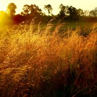 Grasses at the edge of the dry marsh, Sunrise, Malabar Scrub, Малабар