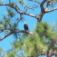 Bald Eagle, Мангониа-Парк