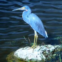 Little Blue Heron, Маргейт
