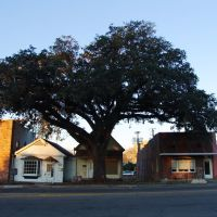 Live Oak tree dwarfing historic buildings, courthouse square, Marianna Fla (1-3-2012), Марианна