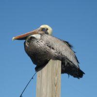 Pelikan at Belbourne harbour, Мельбурн