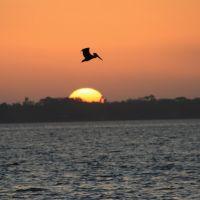 Pelican, Мельбурн