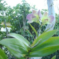 orquideas, Норвуд