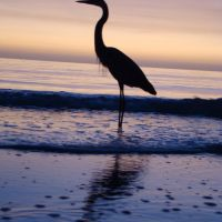 Great Blue Heron, Норт-Редингтон-Бич