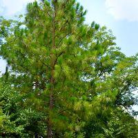 A beautiful Alabama State Tree the Longleaf Pine at Lockhart, Alabama, Пакстон