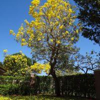 Tabebuia tree, Помпано-Парк
