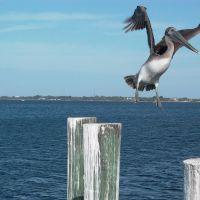 Pelican, Пунта-Горда