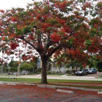 Flamboyant Tree, Пунта-Горда