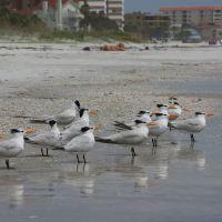 Royal terns enjoying the beach at low tide, Редингтон-Бич