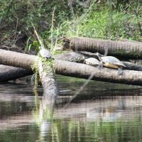 Turtles on the Little Manatee River, Рускин