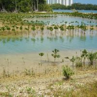 Plantation of mangroves in Oleta State Park, Sunny Isle, Miami, Florida. Bravo!, Санни-Айлс