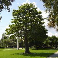 Bello Arbol de Ceiba en el Campus de la Universidad de Miami, Саут-Майами