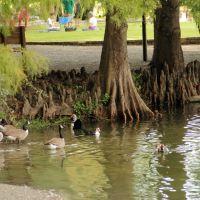 Ducks and trees at Lake Ella, Tallahassee, Fl, Талахасси