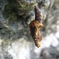 Chrysalis on rocks, Тамайами