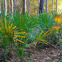 Pine-palmetto forest, Lake Woodruff NWR, Тик