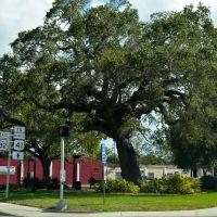 Large Oak tree, Форт-Майерс