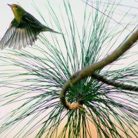 Palm warbler, Хай-Пойнт