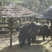 Rhinos in the shade, Хамптон