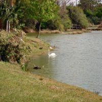 Swan At The Big Cat Refuge in Tampa, FL, Хамптон