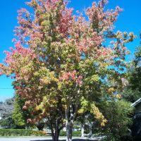 Florida Red Maple, Холли-Хилл