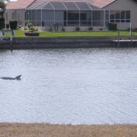 A dolphin in BSI Canal, Шарлотт-Парк