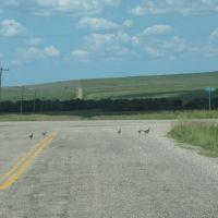 Pheasant crossing, Рапид-Сити